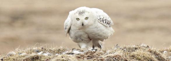 2014-yahoo-news-arctic-snowy-owl