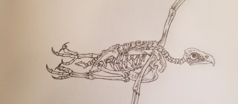 Daves eagle skeleton