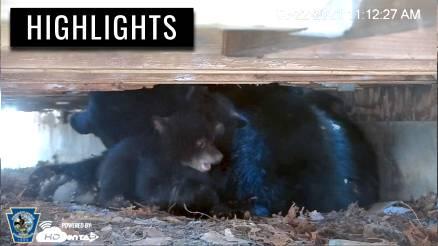 Bear Cubs Wrestle Days Before Leaving Den