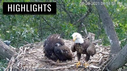 Hanover Eaglet Shows Food Aggression