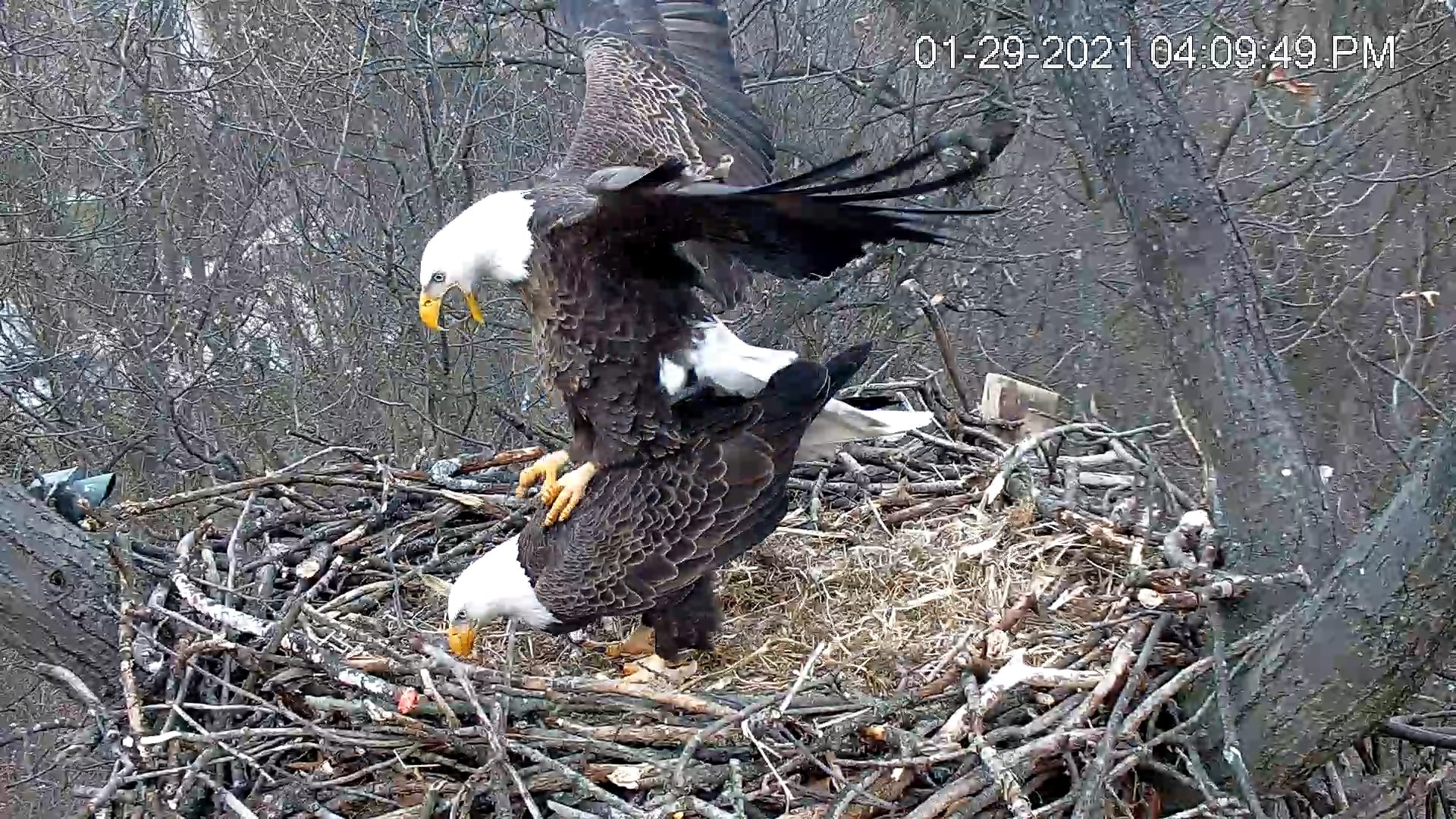 Hanover Eagles engaged in copulation, the male eagle balancing on the females back.