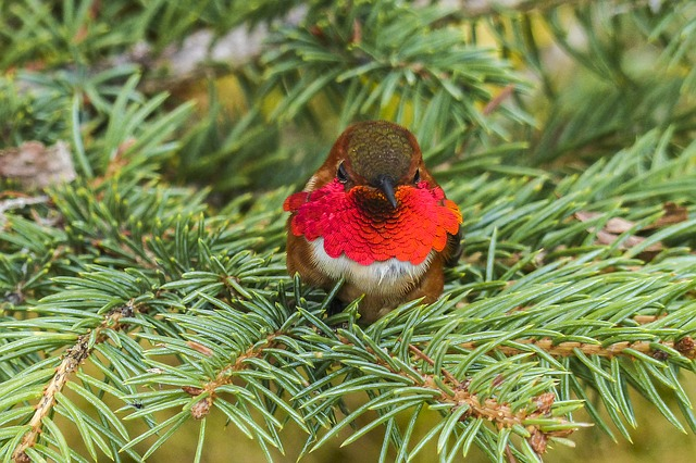 Allen's hummingbird species