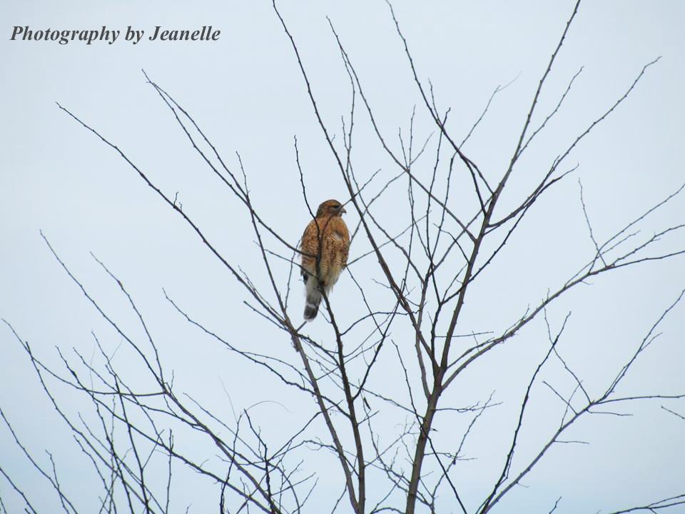 Red Tailed Hawk Nest Live Cam Hdontap Com Hdontap