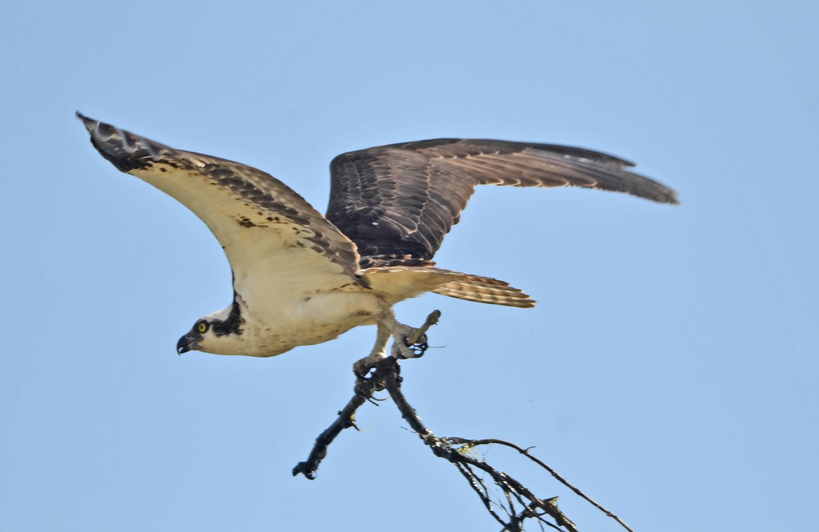 index. video stream red tail hawk cam