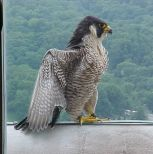 Peregrin Falcon Live Cam Hdontap