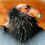 Conservation of California condors