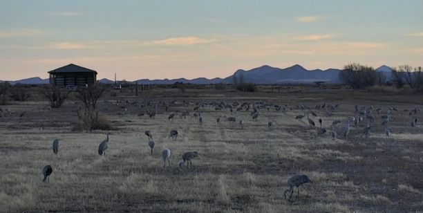 Sand hill cranes live cam hdontap live streaming for Az game fish