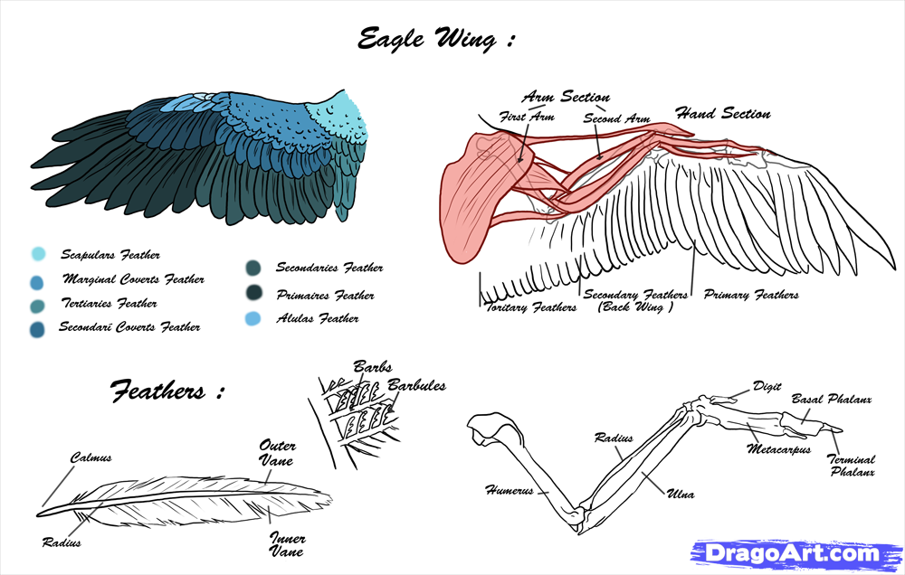 Hanover Eagle Blogs | HDOnTap on eagle food chain diagram, eagle anatomy diagram, bald head coloring page, grizzly bear diagram, common snapping turtle diagram, eagle skeleton diagram, gray squirrel diagram, eagle life cycle diagram, bald eagel, bird diagram, african wild dog diagram, haast's eagle diagram, wolf diagram, polar bear diagram, black eagle diagram, golden eagle diagram, raccoon diagram, chipmunk diagram, ruby-throated hummingbird diagram, owl diagram,
