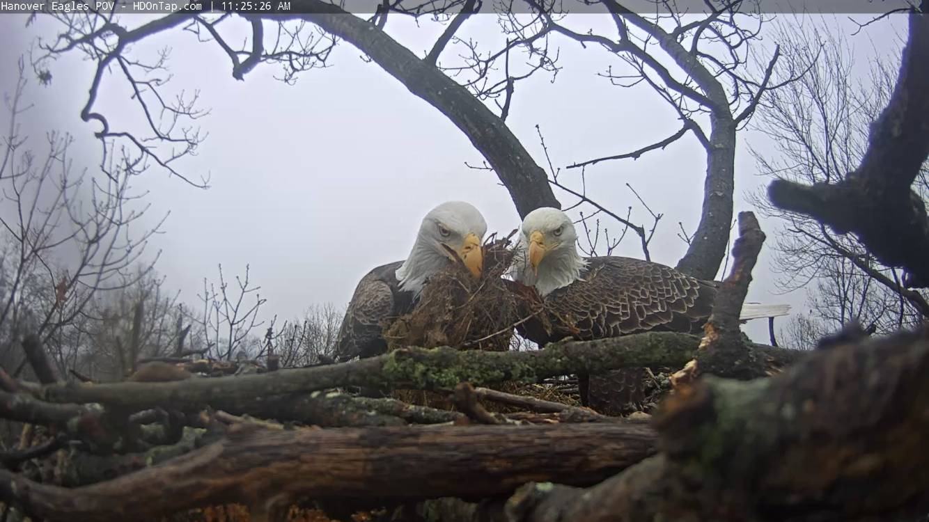 Hanover Eagles Fluff Nestorations January